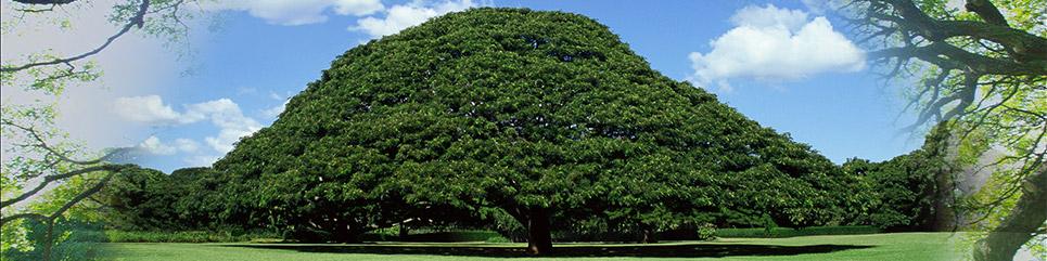 この木なんの木気になる木の名前は?ハワイのどこ …